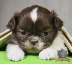 Find the perfect puppy for your family. From breed selection to training to long-term healthcare, PuppySpot will be your first and last puppy stop. Baby Shih Tzu, Shih Tzu Puppy, Shih Tzu Breeders, Puppy Love, Animal Pictures, Fur Babies, Cute Animals, Puppies, Pets