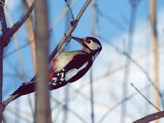 Dzięcioł w parku Woodpecker in the park Free Mind, Bird Watching, Wild Flowers, Wordpress, Youtube, Animals, Fotografia, Animales, Animaux