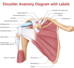 Shoulder Joints Anatomy