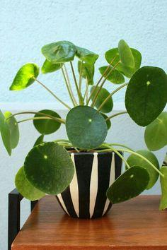 Pilea Peperomioides, Pannenkoekenplant of Chinese Money-plant.