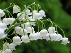 Lily Of The Valley Flowers - childhood favorite. I was fascinated by the tiny bells.