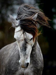 .LOVE this Andalusian! This most certainly has to be one of my fav breeds. Along with apps of course :)