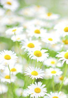 Best of Daisy photos Sunflowers And Daisies, All Flowers, Flowers Nature, My Flower, Flower Power, Beautiful Flowers, Wildwood Flower, Daisy Hill, Daisy Love