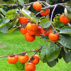 2016 new succulent plants persimmon seeds fruit tree20 pcs