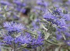 """Caryopteris x clandonensis 'Lissilv' (Blue mist shrub)romatic silver foliage brightens the garden from spring through fall, while whorls of violet-blue flowers attract butterflies from late summer through fall. late-blooming flowers appear when few other shrubs bloom. Compact HT 30""""- 42""""IN X Same spread. Z 5-9"""