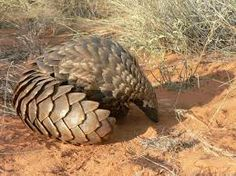 endangered species pictures - Pangolin