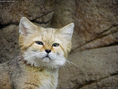 "The Sand cat , also referred to as the ""sand dune cat"", is a small wild cat distributed over African and Asian deserts. (The name ""desert cat"" is reserved for Felis silvestris lybica, the African wildcat.)"