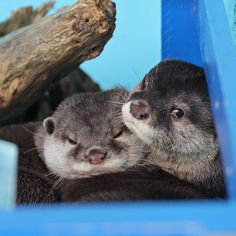 Otters Snuggle Contentedly - April 18, 2012