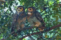 Spotted Wood Owls Pinned by www.myowlbarn.com