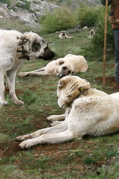 Kangals in Haymana Mans Best Friend, Best Friends, Kangal Dog, Tutti Frutti, Animal Kingdom, Dog Breeds, Cats, Animals, Beat Friends