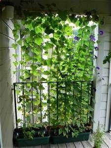 morning glory covering balcony Lisa Carr via Jesse Fleming onto Gardening
