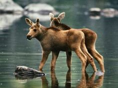 Young moose calves.