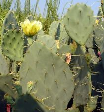 Opuntia bentonii - 20 SEEDS / SAMEN - EXTREMELY RARE! - Kaktus, Cactus