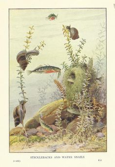 Stickleback and Water Snails Fish Colour Print 1914