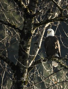 hidden eagle - This eagle can see the fish. Can they spot him in the tree. In The Tree, Bald Eagle, Wildlife, Birds, Fish, Animals, Animales, Animaux, Bird