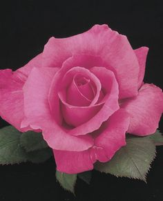 Likes moderate temperatures...Electron Hybrid Tea Rose