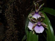 Zygopetalum maxillare - Flora de la provincia de Misiones, República Argentina