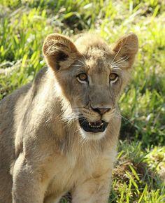 Ken the #lion #cub by Pegi Sue