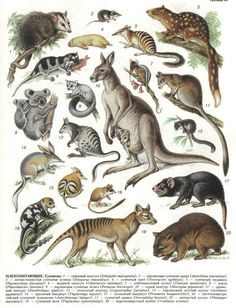 Handbook of the Mammals of the World - Volume 1 Animals And Pets, Baby Animals, Cute Animals, Mon Zoo, Australia Animals, Animal Facts, Animal Species, Fauna, Animal Drawings