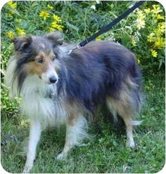 Facts about Reily Breed: Sheltie, Shetland Sheepdog Color: Tricolor (Tan/Brown & Black & White) Age: Adult Size: Small 25 lbs (11 kg) or less Sex: Male ID#: 09-003 My name is Reily!      Reily's Info... I am already neutered, housetrained, purebred, up to date with shots, not good with kids, good with dogs, and good with cats.