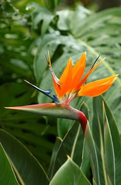 Bird of paradise exotic tropical flowers