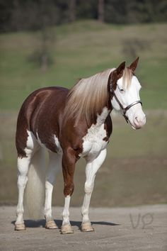 What wonderful markings. Quarter horse and Paint - Mare named 'Olivia' - by valentina-86 on DeviantArt