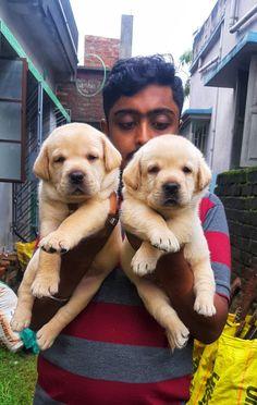 Call-8420355767 Labrador puppies cost in kolkata Stating price 10,000 Labrador Puppies For Sale, Dogs And Puppies, Kolkata, Labradoodle Puppies For Sale