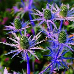 200+ Sea Holly Blue Flower Seeds