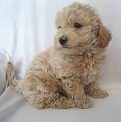 Avery needs a dog like this...... mini goldendoodle <3