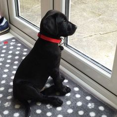 Mind Blowing Facts About Labrador Retrievers And Ideas. Amazing Facts About Labrador Retrievers And Ideas. Black Lab Puppies, Cute Puppies, Cute Dogs, Dogs And Puppies, Doggies, Labrador Retriever Dog, Labrador Dogs, Sweet Dogs, Puppies