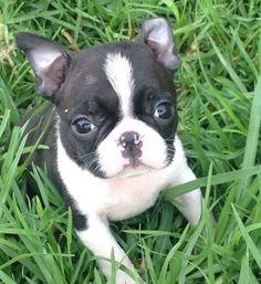 "Exceptional ""Boston terrier puppies"" info is offered on our internet site. Baby Boston Terriers, Toy Fox Terriers, Boston Terrier Love, Russell Terrier, Bulldog Puppies, Cute Puppies, Cute Dogs, Dogs And Puppies, Doggies"