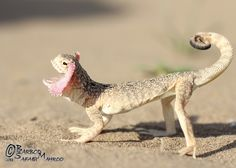 Phrynocephalus mystaceus is a species of agamid lizard found in Iran, North Afghanistan, Eastern Caucasus, Kazakhstan and possibly in south of Astrakhan Oblast. This species can reach up to 24 centimetres in length and is notable for its red oral display frill.  Turan Toad-headed Agama