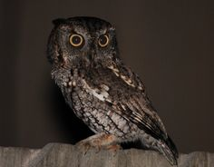 Pretty little Screech owl~~~ IDT