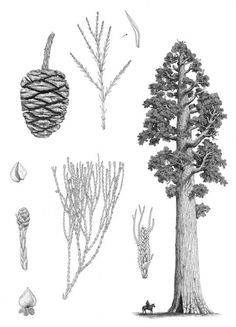 Sequoiadendron giganteum - botanical art of Aljos Farjon. Botanical Drawings, Botanical Art, Giant Sequoia Trees, Giant Tree, Big Tree, Tree Pencil Sketch, Pinecone Tattoo, Roots Drawing, Redwood Tattoo