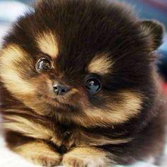 pomsky photo, husky puppy, pomeranian