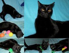 MORANGO - Adopta-me   Gato - Europeu Comum  Idade: Jovem Sexo: Macho Tamanho: Médio Pêlo: Preto