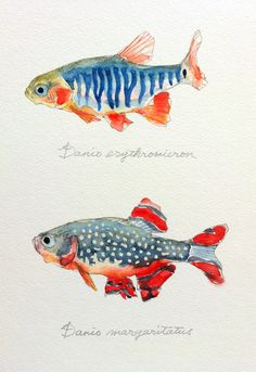 erythromicron nagashima emerald rasbora danio dwarf yusei 2012 fish art Danio erythromicron emerald dwarf rasbora Yusei Nagashima can find Fish art and more on our website Watercolor Fish, Watercolor Animals, Watercolor Illustration, Watercolor Paintings, Paintings Of Fish, Watercolour, Fish Drawings, Art Drawings, Drawing Sketches