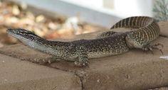 Lizard - Roxby Downs SA