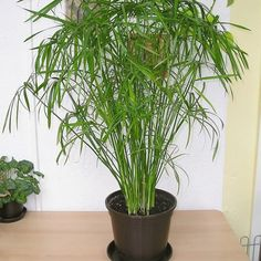 Breeding Cyprus Grass, Tips for Care & Pest Control - dinkum - New Ideas Orchid Cactus, Gravel Garden, Nature Plants, Orchid Care, Ficus, Dream Garden, Pest Control, Houseplants, Indoor Plants