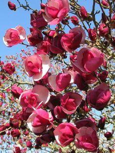 Magnolia Alexandrina / wunderschöne Magnolie, sieht interessanter aus als die meisten Züchtungen