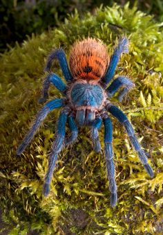 Green Bottle Blue Tarantula Care Sheet | Tarantula Guide