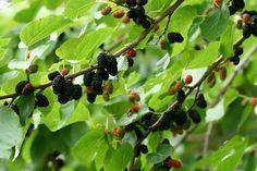Morus nigra. Black mulberry.