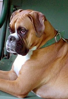 This Boxer named Barnaby looks like what I anticipate our Buster Brown will look like some day.