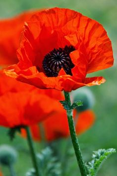 How to Grow Poppies Poppies are one of the most colorful flowers to grow in the garden. Knowing how to grow poppy seeds will make sure th...