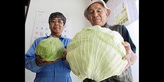 Giant Lettuce! Siamese-twin corn cobs! Checkout the freaky food that was NOT caused by Japan's nuclear disaster...