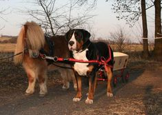 Pony and Greater Swiss Mountain Dog carting