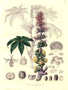 castor - Ricinus communis -- don't let your children eat the castor beens.