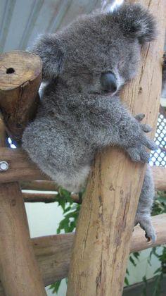 Little Archer the Koala at Featherdale Wildlife Park.