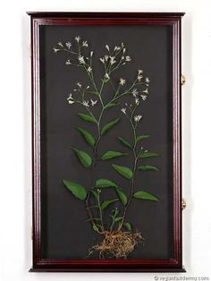 White Wood Aster (Eurybia divaricata), 3-D crepe paper sculpture by Aimée Baldwin
