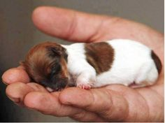 The tiny Jack Russell Chihuahua-cross, aptly named Miracle, is the only one in a litter of five to survive.